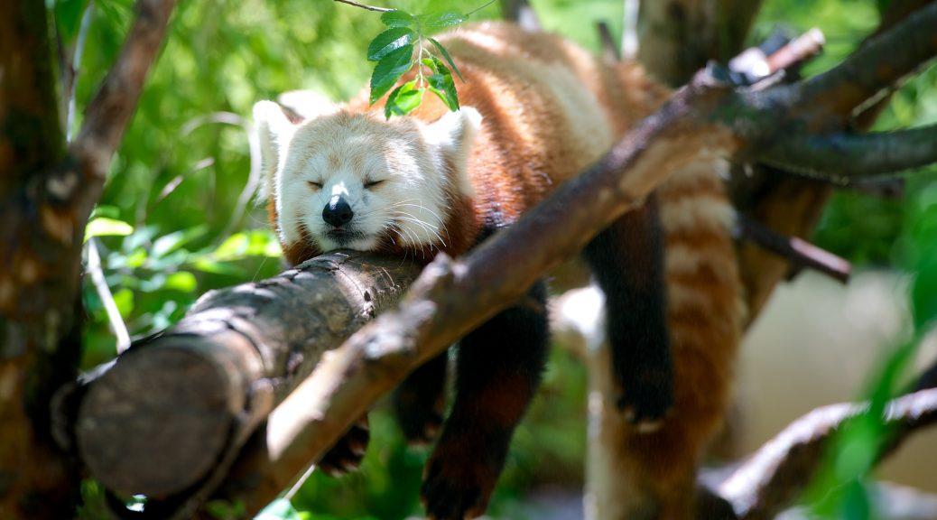 Ein Roter Panda macht in der Sonne hitzefrei.